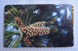 Pine Cones. - Belarus