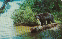 Black Bear Yearling Cub - Ours
