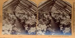 Chrysanthemums, 500 Differentes, Littleton - Fotos Estereoscópicas