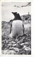 ISLANDE - FALKLAND - Pingouin Et Son Poussin  - Format 18 X 10.5 Cm - Iceland