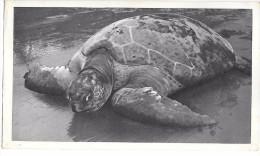 TORTUE DE MER - GUINEE ESPAGNOLE - Format 18 X 10.5 Cm - Schildpadden