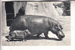 TIERE - FLUSSPFERD / Hippo - Zoo Paris, Bois De Vincennes - Hippopotamuses