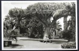 Las Palmas, Dragos De Altissima Edad, Drachenbäume, Spanien, Espana, Gran Canaria, Canarias - La Palma