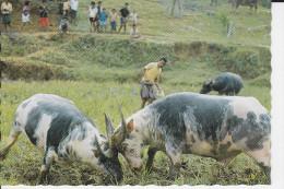 CPSM SOUTH SULAWESI TANA TORAJA BUFFALO FIGHTING - Indonesia
