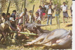 CPSM SOUTH SULAWESI TANA TORAJA EXTRACTING BLOOD FROM A BUFFALO - Indonesia
