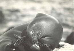 A36 Foca – Seal - Phoque - Sello  / Nuova - Altri