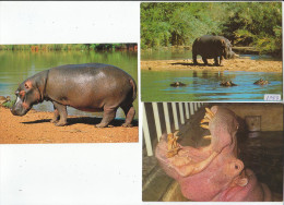 Lot 5 Cartes Hippopotame Nijlpaard (seekoei) Hippo - Nilpferd - Flusspferde