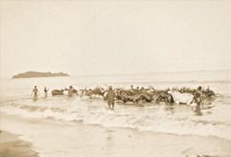 Nossi Be Baignade Des Boeufs Madagascar Ancienne Photographie Diez 1924 - Africa