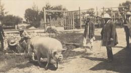 Elevage De Cochon Madagascar Ancienne Photographie Diez 1924 - Africa
