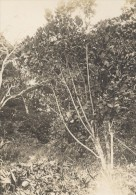 Plante De Madagascar Ancienne Photographie Diez 1924 - Africa
