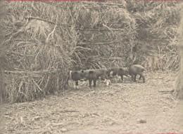 Madagascar Region De L'Isalo Cochon D'élevage Ancienne Photo 1900 - Africa