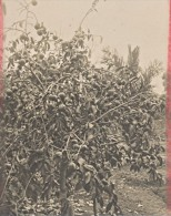Madagascar Region De L'Isalo Arbre Fruitier Ancienne Photo 1900 - Africa