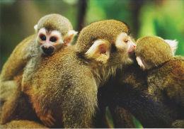 Postcard Squirrel Monkey (Saimiri Sciureus) - Singes