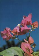 Bright Colored Bougainvillia Flowers - Polynésie Française