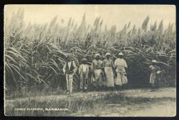 Cpa Canes In Arrow  ,  Barbados , Barbades      AG15 19 - Barbados