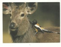 Photo-credit : WWF / M Harvey. Sambar Deer (cerf) With Rufus Tree-pie. Ranthambore National Park Inde - Animals
