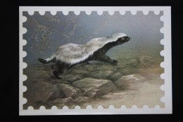 Old USSR Postcard. The Honey Badger, Also Known As The Ratel 1987 - Animals