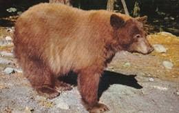 American Black Bear Yosemite National Park California