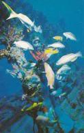 Virgin Gorda Little Dix Bay Diver Feeding Fish At Wreck Of The Rhone 1983 - Virgin Islands, British