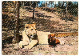 Animaux Et Faune - ( Parc Zoologique De La Palmyre Environ De Royan (17) Le Lion Et Le Teckel (2scann) - Lions