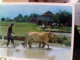 CAMBOGIA  KMER FARMER  LAVORO  CAMPI  BUOI ARATRO  CAMPI  RISO   N1990 EU17766 - Cambogia