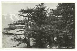 Bécharré - Cèdres Du Liban - Liban