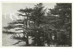 Bécharré - Cèdres Du Liban