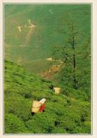 INDIA   DARJEELING:   COLTIVAZIONI  DI  TE'      (NUOVA CON DESCRIZIONE DEL SITO SUL RETRO) - India