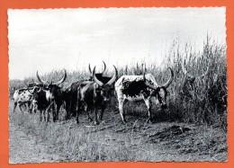 Congo Belge.Kivu. Troupeau De Vaches. 1963 - Congo Belge - Autres