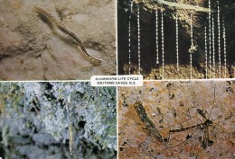 Postcard - Glowworm Life Cycle In Waitomo Caves. P1388 - Otros