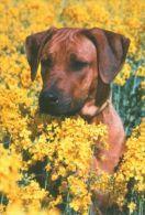DOGS / HUNDE / CHIENS /  -  RHODESIAN RIDGEBACK  Postcard   Unused   ( P 1932 ) - Dogs
