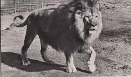 POSTCARD LION RAJAH Zoo Interest WILD ANIMALS - Lions