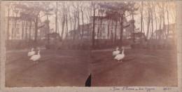 Vieille Photo Stereoscopique Calais Parc  Saint Pierre Les Cygnes En 1925 Unique - Stereoscopic