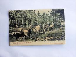 Carte Postale Ancienne : HONDURAS : Finca De Bananos En Honduras - Honduras