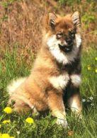 DOGS / HUNDE / CHIENS /  -   EUROASIER  Postcard   Unused   ( P 2151 ) - Chiens
