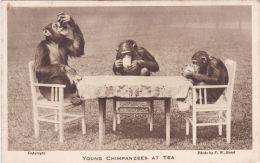 ZOO CARD -YOUNG CHIMPS AT TEA - Monkeys