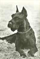 DOGS / HUNDE / CHIENS /  -  SCHNAUZER  Postcard   Unused   ( P 2205 ) - Hunde