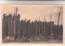 Poperinghe, Poperinge, Een hoppeveld, de hoppepluk  (pk19812)