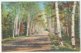White Birches In The White Mts., N.H. - White Mountains