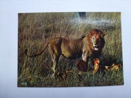 CP , Lion , Faune Africaine - Lions