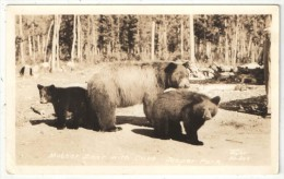 Mother Bear With Cubs, Jasper Park, Alberta - Ours - Jasper