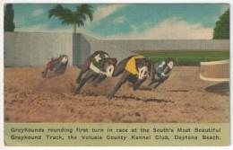 Greyhounds Rounding First Turn In Race, Volusia County Kennel Club, Daytona Beach - 1949 - Daytona