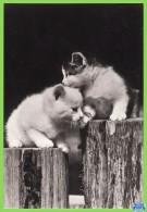 Voyo GERMANY/DDR  Zwei Kätzchen  Cat 1984 Unused Planet Nr 7796 Echt Foto - Chats