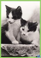 Voyo GERMANY/DDR  Zwei Kätzchen  Cat 1984 Unused Planet Nr 7745 Echt Foto - Chats