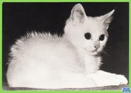Voyo GERMANY/DDR  WHITE CAT 1984 Unused Planet Nr 7797 Echt Foto - Chats
