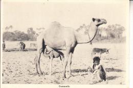 ERITREA, Cammello / Camel / Kamel - Eritrea