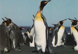 Manchots Royaux  - Terres Australes Et Antarctiques Française  - - Animaux & Faune