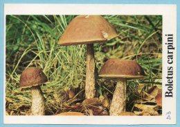 Immagine Con Fungo - BOLETUS CARPINI - Schede Didattiche