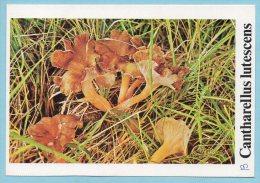 Immagine Con Fungo - Cantharellus Lutescens - Geïllustreerde Kaarten