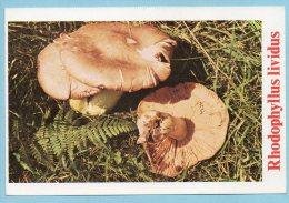 Immagine Con Fungo - RHODOPHYLLUS LIVIDUS - Schede Didattiche